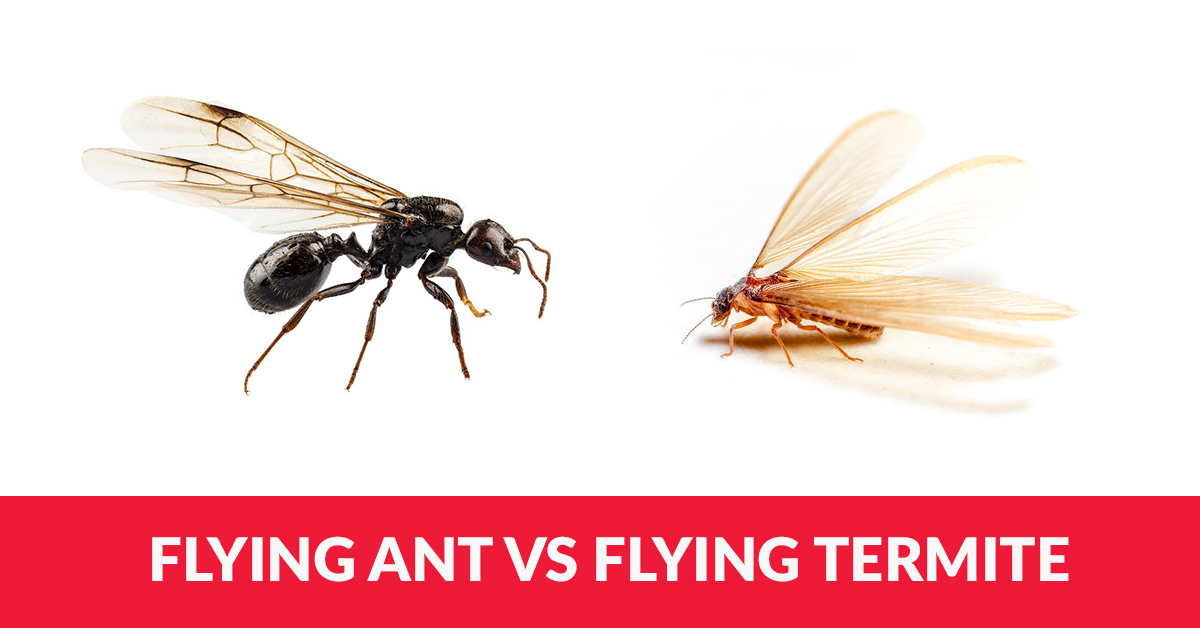 Are These Flying Ants Or Flying Termites Arrow Termite Pest Control