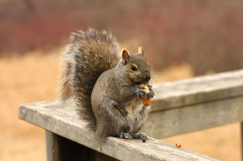 How To Get Rid Of Squirrels In Your Attic