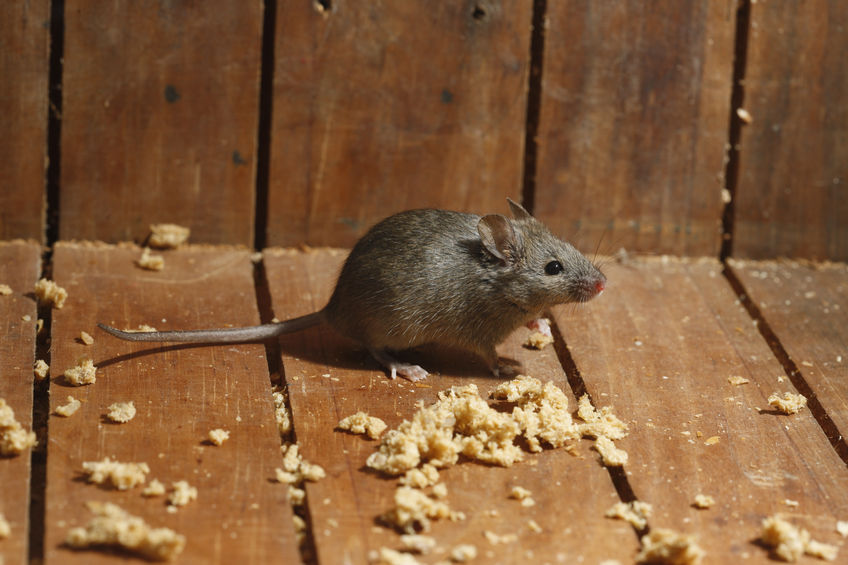 3 Major Diseases You Can Catch From Mice