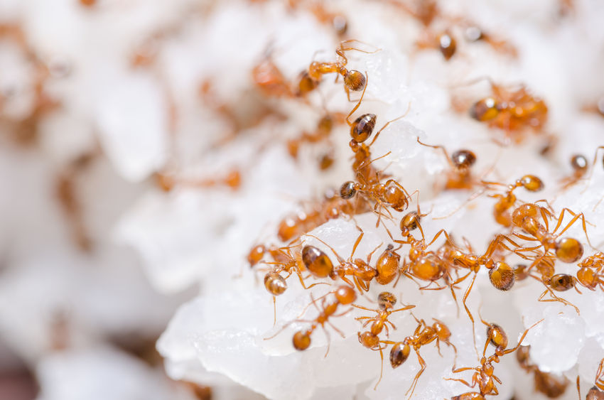 22633549 – red fire ants on the rice in home