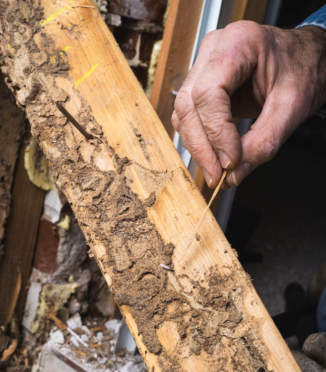 What Do Termites Look Like And How To Identify Them