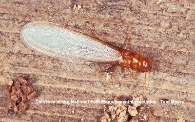 Termite Swarm Season, Damage Repairs, Termite Prevention Tips