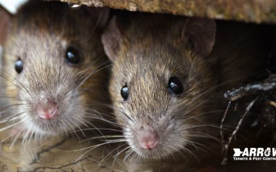 4 Things a Rat or Mouse Will Do to Destroy Your Home